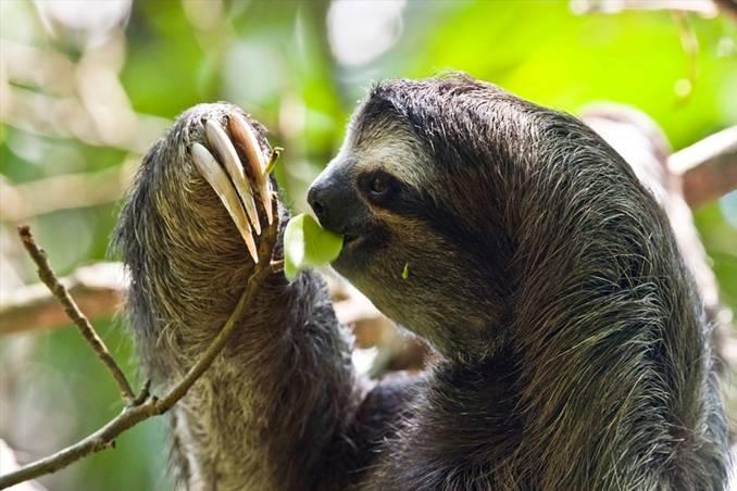 El perezoso pigmeo de tres dedos entre las 100 especies más amenazadas