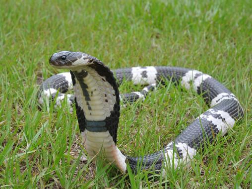 Así desarrollaron las cobras su veneno con efectos necrosantes
