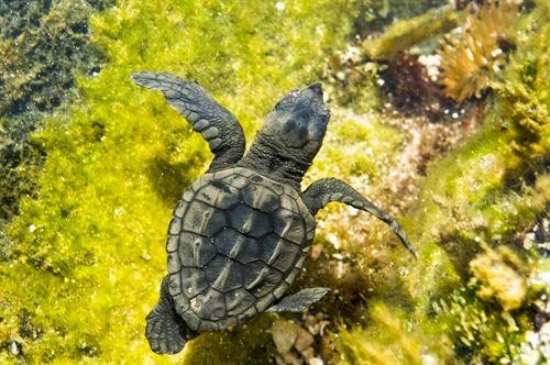 Medio Ambiente bate récord de atención de tortugas bobas este año