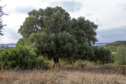 El olivo silvestre prefiere el polen lejano