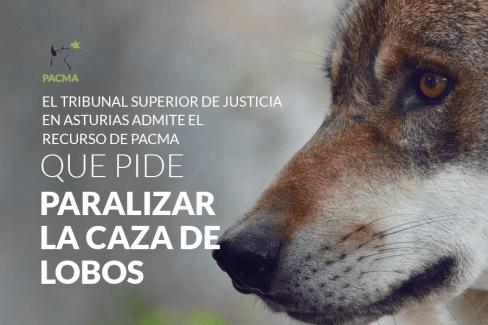 El TSJ admite el recurso de PACMA para detener la caza de lobos en Asturias