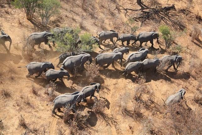La sabana africana se queda sin elefantes