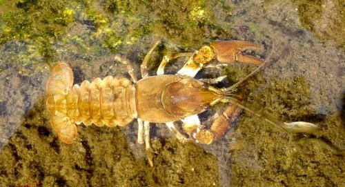 La esperanza del cangrejo de río está en sus propios genes