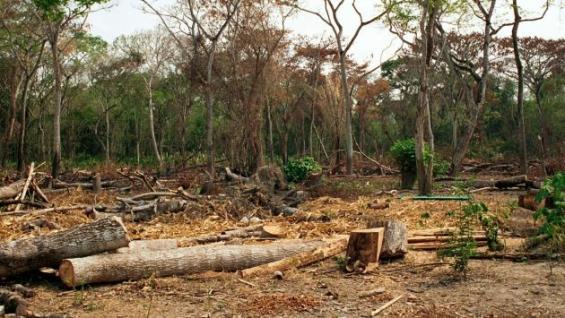 En lo que va del año fueron deforestadas 45 mil hectáreas de la Amazonía peruana