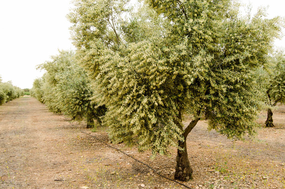¿Cómo conseguir un aceite de oliva más saludable y sostenible?