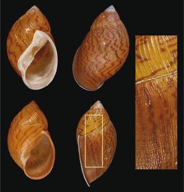 Detectan una nueva especie de molusco recolectada en el siglo XIX