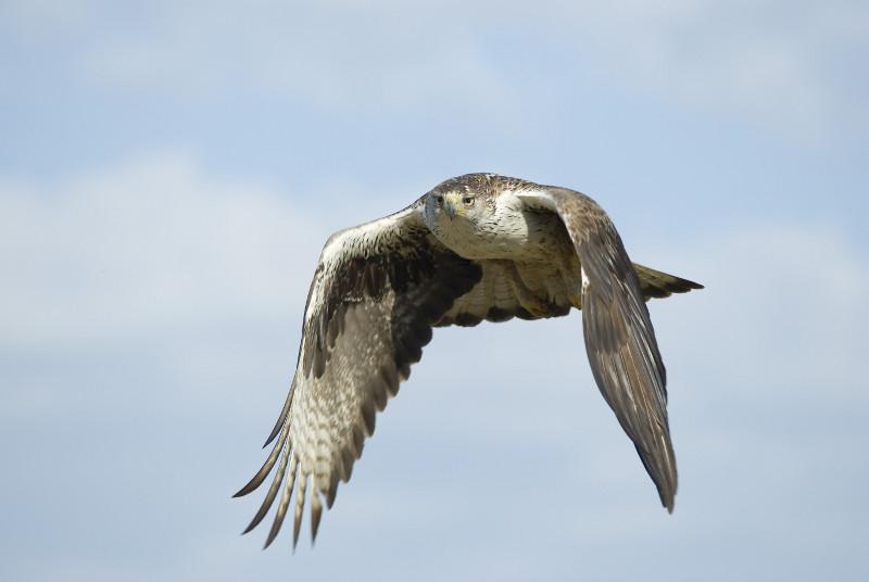 El águila de Bonelli cría por primera vez en Mallorca gracias a un plan de reintroducción de la especie