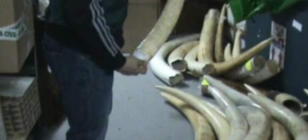 Intervienen dos colmillos de elefante de contrabando en La Seu d'Urgell (Lleida)
