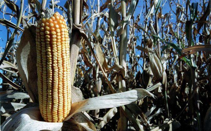 APAG Extremadura Asaja calcula que la cosecha de maíz se reducirá en torno a un 10% en esta campaña