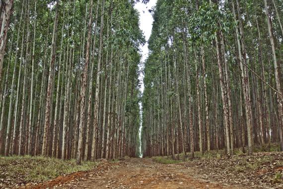 Más eucaliptos,  más   coníferas. Consecuencias de la sed de beneficio$ en la húmeda Galicia. El sector forestal. - Página 6 CBHG_El-crecimiento-de-plantaciones-de-eucalipto-se-calcula-desde-la-nube_image_380