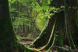 WWF celebra que la Comisión Europea lleve a juicio a Polonia por destruir el bosque de Bialowieza
