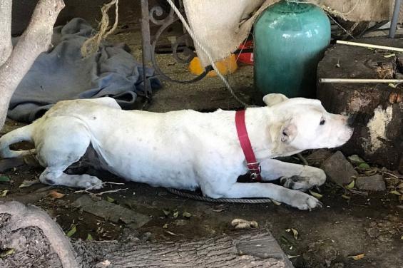 Ciudad de Buenos Aires: La justicia investiga a la dueña de un perro maltratado
