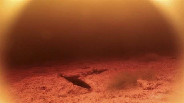 Estos peces distintos evolucionaron igual para ver en el agua oscura