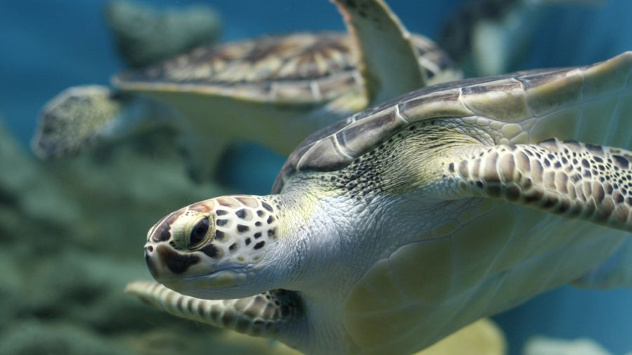 Cambio climático afecta anidación de tortugas en Nicaragua