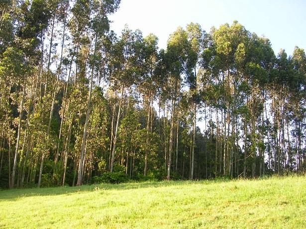 El Principado de Asturias potencia el monocultivo de las Plantaciones de Eucaliptos en los montes asturianos, a pesar de su plan Forestal