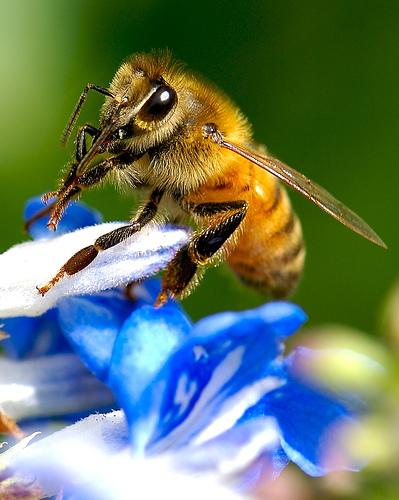 Las abejas, productoras de miel y de biodiversidad