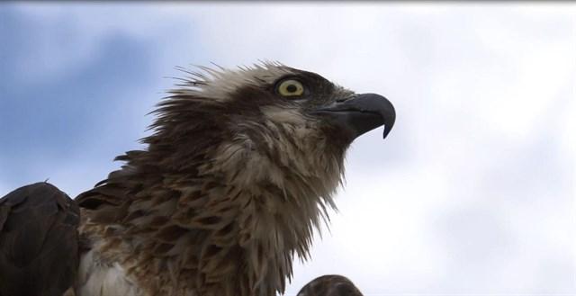 El Govern otorga una subvención de 24.500 euros a Endesa para proteger a las aves de los tendidos eléctricos