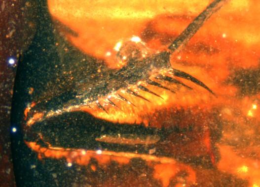 ¿Qué sabes de la primera mantis religiosa fósil española?