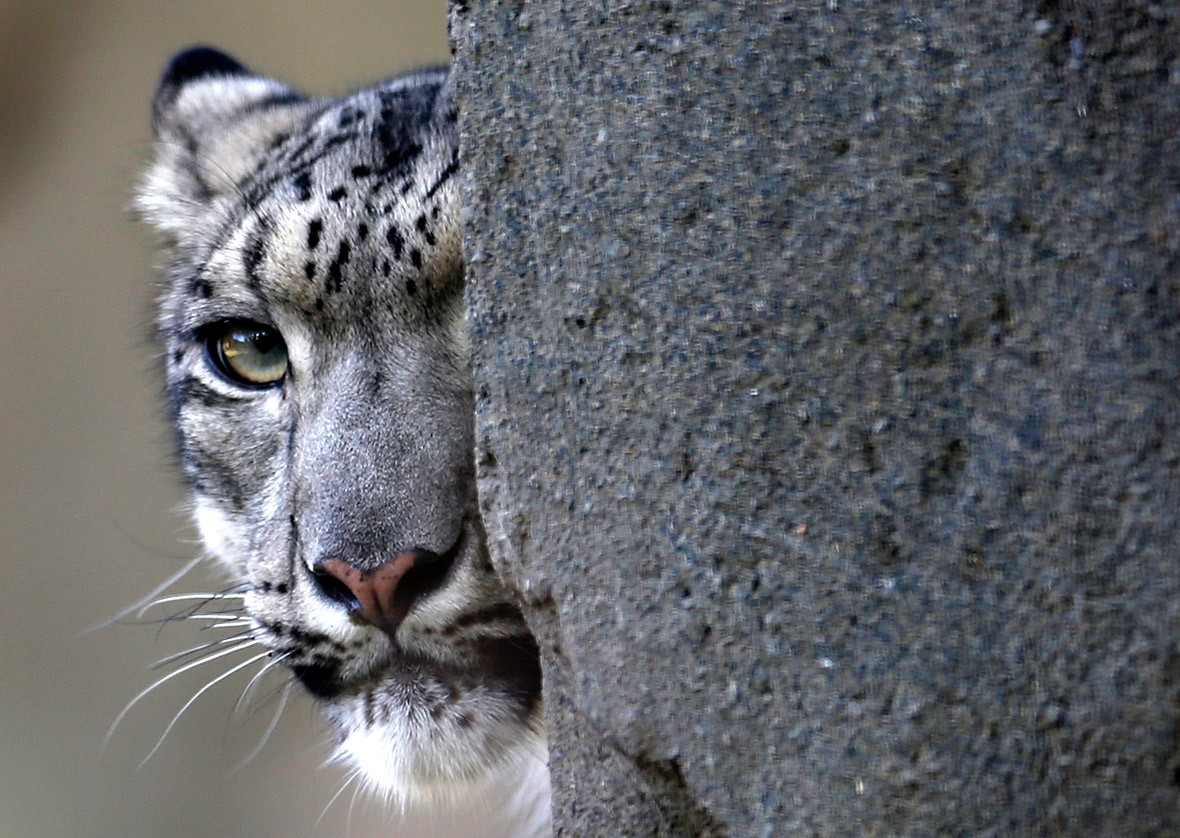 El leopardo de las nieves un símbolo de la lucha contra la extinción de especies