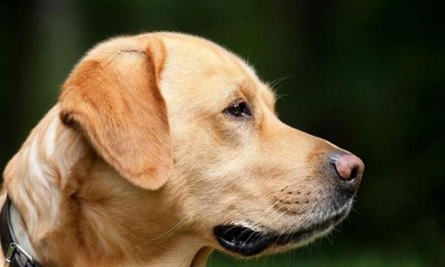 Los cazadores tachan de 'hipócrita' la prohibición de cortar la cola de los perros