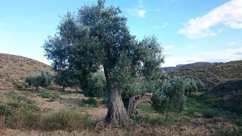 La Fundación Félix Rodríguez de la Fuente apadrina un olivo de Teruel