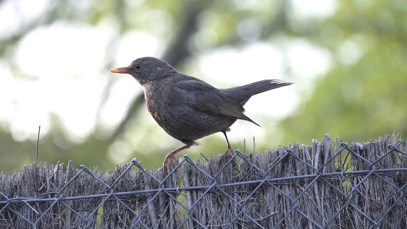 Las ciudades ponen en peligro millones de años de historia evolutiva de las aves