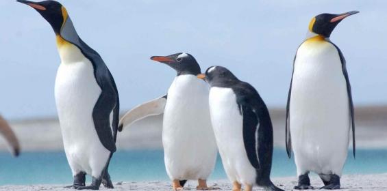 Chile. Pingüinos regresan a un área donde se extinguieron hace miles de años