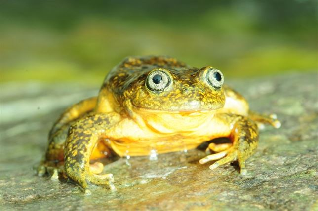 La rana dorada que se escondía en los Andes de Perú