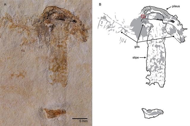Descubierto en Brasil el hongo fósil más antiguo del mundo