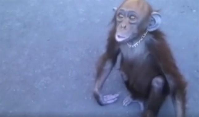 Bebé chimpancé rescatado tras pedir ayuda (ver VIDEO)