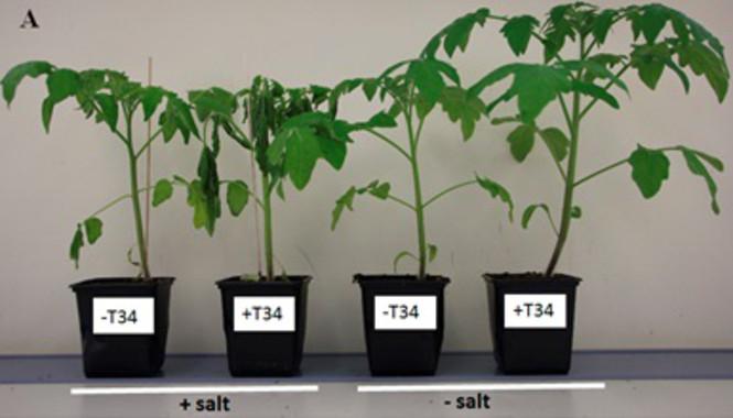 Combinar fertilizantes químicos y biológicos daña la respuesta de las plantas al estrés