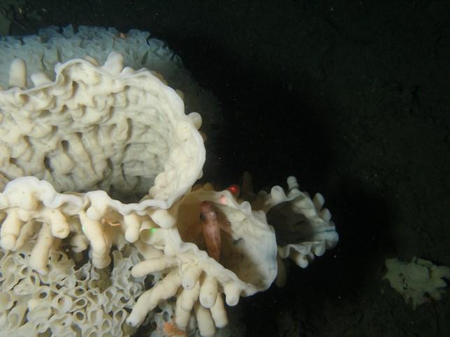 Canadá protegerá los arrecifes de esponjas de cristal