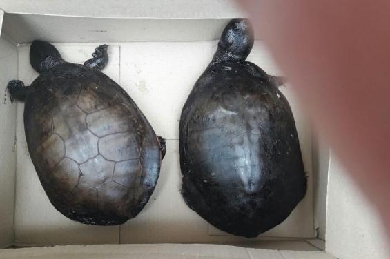 Argentina: Una mujer de La Plata rescató a dos tortugas empetroladas cerca de una Refinería