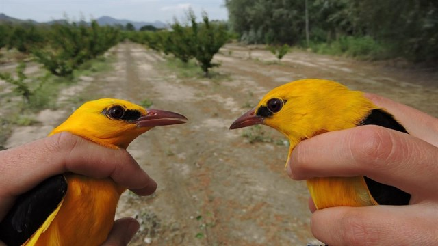 La biodiversidad del bosque del Segura permite anillar en un solo día 18 especies de aves
