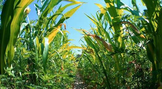 La UE limitará al 5% los biocarburantes elaborados con cultivos alimentarios