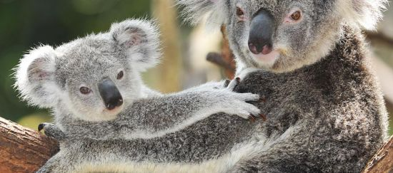 Australia: el grito de los koalas