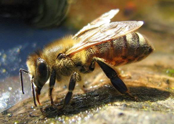 UE vetará al menos 2 años el uso de pesticidas que afectan a las abejas