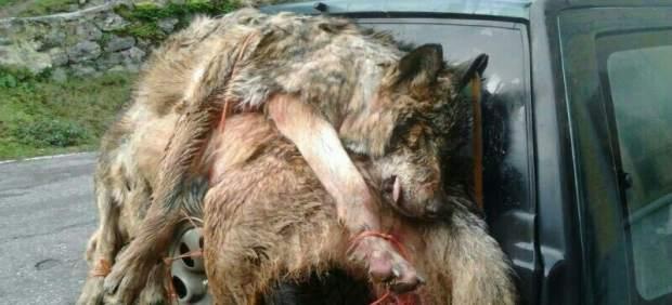 WWF denuncia en fiscalía las batidas indiscriminadas de lobos en un tercio de Asturias