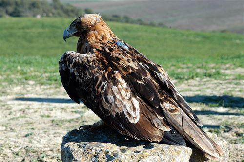 La población del águila imperial ibérica supera por primera vez 100 parejas nidificantes