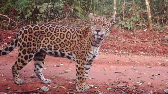 Argentina. Analizaron las principales zonas para conservar al yaguareté