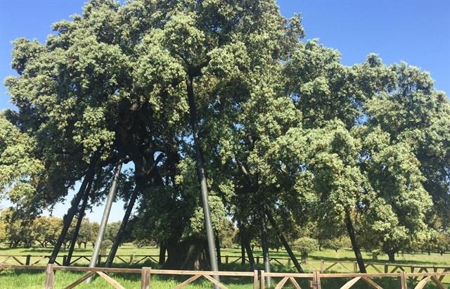 Zarza de Montánchez (Cáceres) celebra los 16 años de la declaración de La Encina Terrona como árbol singular