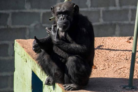 La chimpancé Cecilia mejora cada día más en un santuario de Brasil