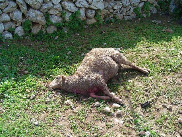 Establecen un protocolo ante los ataques de perros en producciones ganaderas de Mallorca