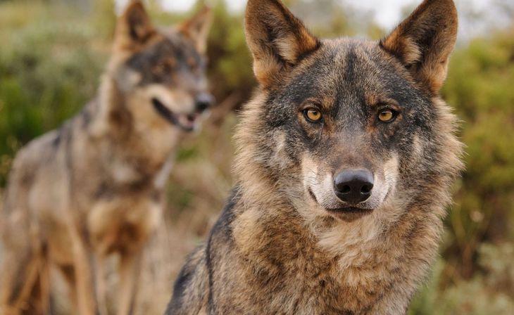 El nuevo estatus del lobo ibérico no es un 'capricho' del gobierno