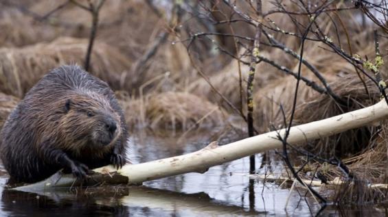 Argentina. Advierten sobre el alcance de la invasión de castores
