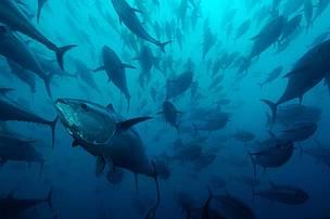 Atún rojo: WWF alerta de que podríamos perder la batalla tras diez años de recuperación