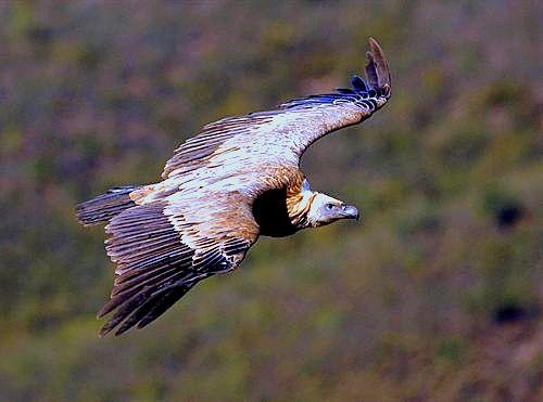 Más de 80.000 aves de 30 especies cruzan el Estrecho desde África
