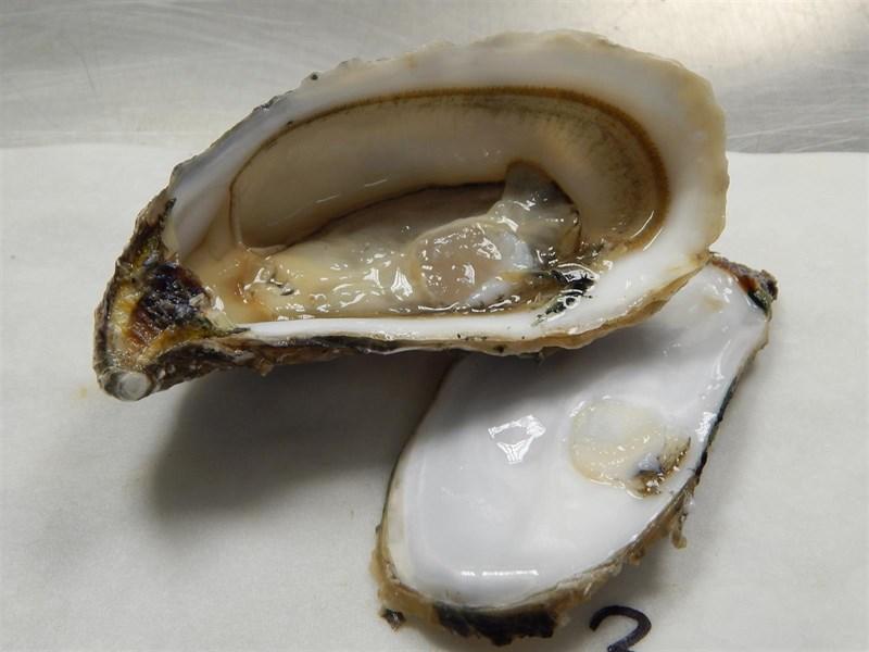 Un estudio destaca la utilidad de las ostras para estudiar la concentración de plata de los estuarios