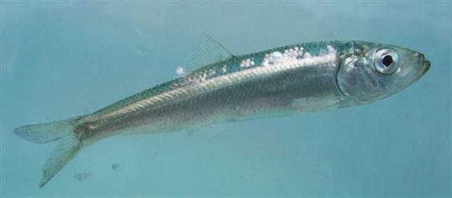 El colapso de los peces forrajeros, un camino sin retorno