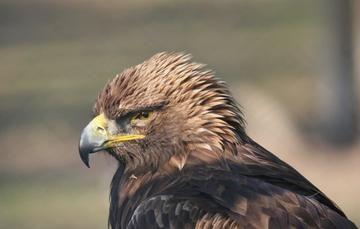 Con la protección del águila real, México celebra el Día Mundial de las Aves